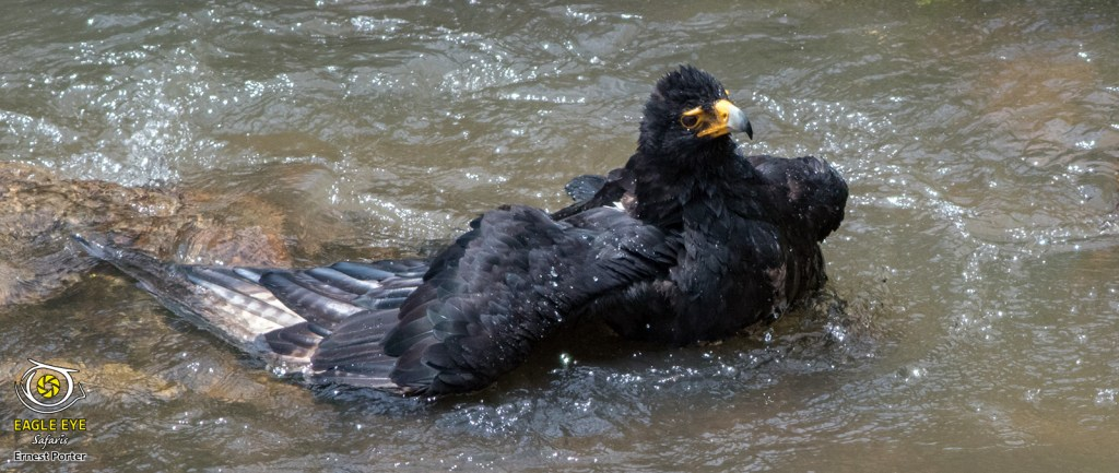 Emoyeni taking a bath (Verreaux's Eagle)