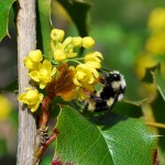 Oregon Grape, Tall Mahonia aquifolium