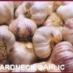 hardneck garlic