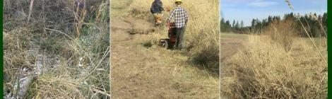Day one: the Washington Conservation Corp begins removing Reed Canary Grass along Chimacum Creek
