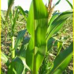 Corn: Fire in the Sky variety. Good for sweet corn and dried corn meal.