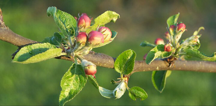Apple blossoms promise a good harvest