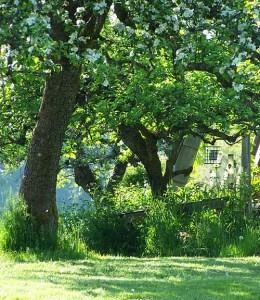 Our heirloom apple trees
