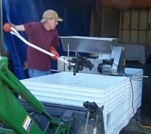 Moving grapes into the crusher