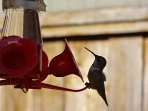 hummingbird-2