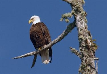 tree-eagle