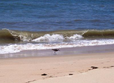 Shorebird on Hatteras Island beach