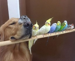 Bob and friends--a golden retriever with a hamster on his nose and a bunch of birds next to him