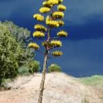 Agave along roadside near Silver City, New Mexico