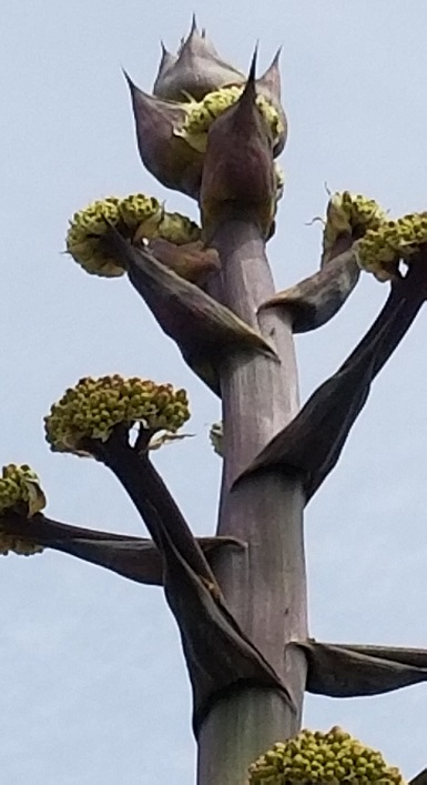 The very top of an agave just beginning its bloom in 2019