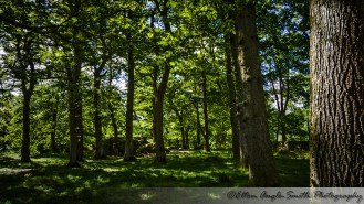 Image of oak trees with dappled sunlight