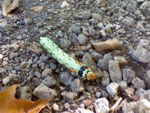 Hickory Horned Devil Caterpillar orLarvae
