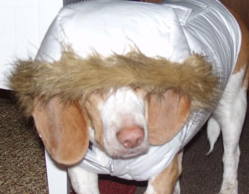 My lemon beagle Daedalus in his new winter coat.