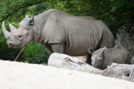 A rhino mother and baby.