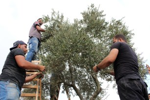 Villagers from Husan harvest their olives located next to a fenced road leading to a settlement. Photo EAPPI/J. Kaprio.