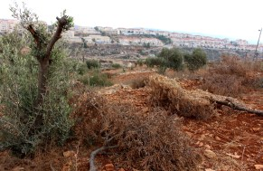 Beitar Illit can be seen in the background of the Shawash family's olive tree field. 38 trees were damaged in the village of Husan. Photo EAPPI/J. Kaprio.