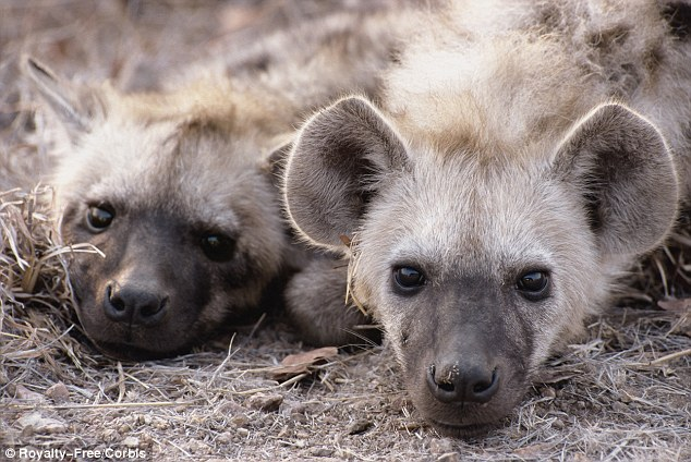 Zoo Abandons Hyena Breeding Program After 4 Years When They Finally Found Out Both Animal Were Male