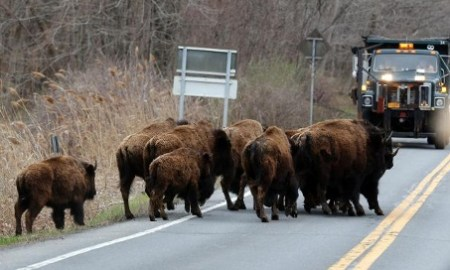 Herd of Buffalo Roaming Around The New York State Thruway Are Shot & Killed....