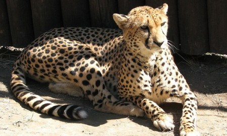 Two Year Old Boy Falls Into Cheetah Exhibit At Zoo After His Mother Was Seen Dangling Him Over The Railing