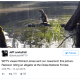 raccoon on alligator's back