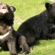 rare black bears