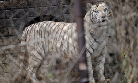 Siberian Tiger Mauled Woman To Death At Chinese Wildlife Park [Video]