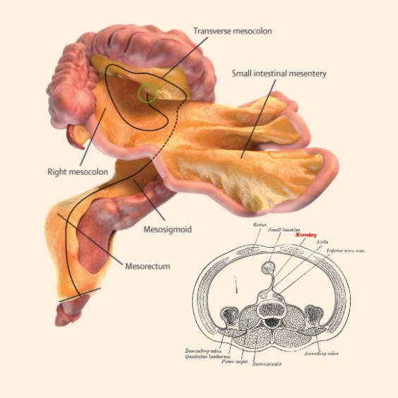 Scientists Have Discovered New Organ Inside The Human Body Called Mesentery In The Digestive System