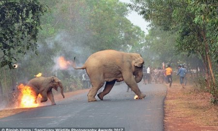 Disturbing Photos Of Mother & Baby Elephants Set On Fire By Hateful Angry Mob!