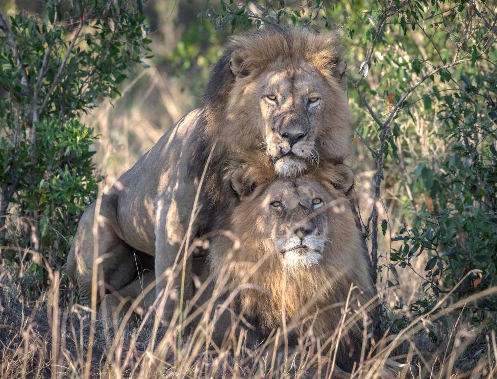 Crazy Gay Lions Ordered Isolated In Kenya, The Officials Call The Lions Homosexual
