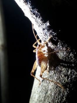 A few folks camped out at Bushy Park and went on a night walk to see some nocturnal creepy crawlies like this tree weta.