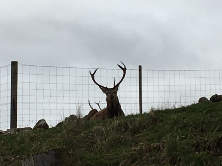 Applecross stag