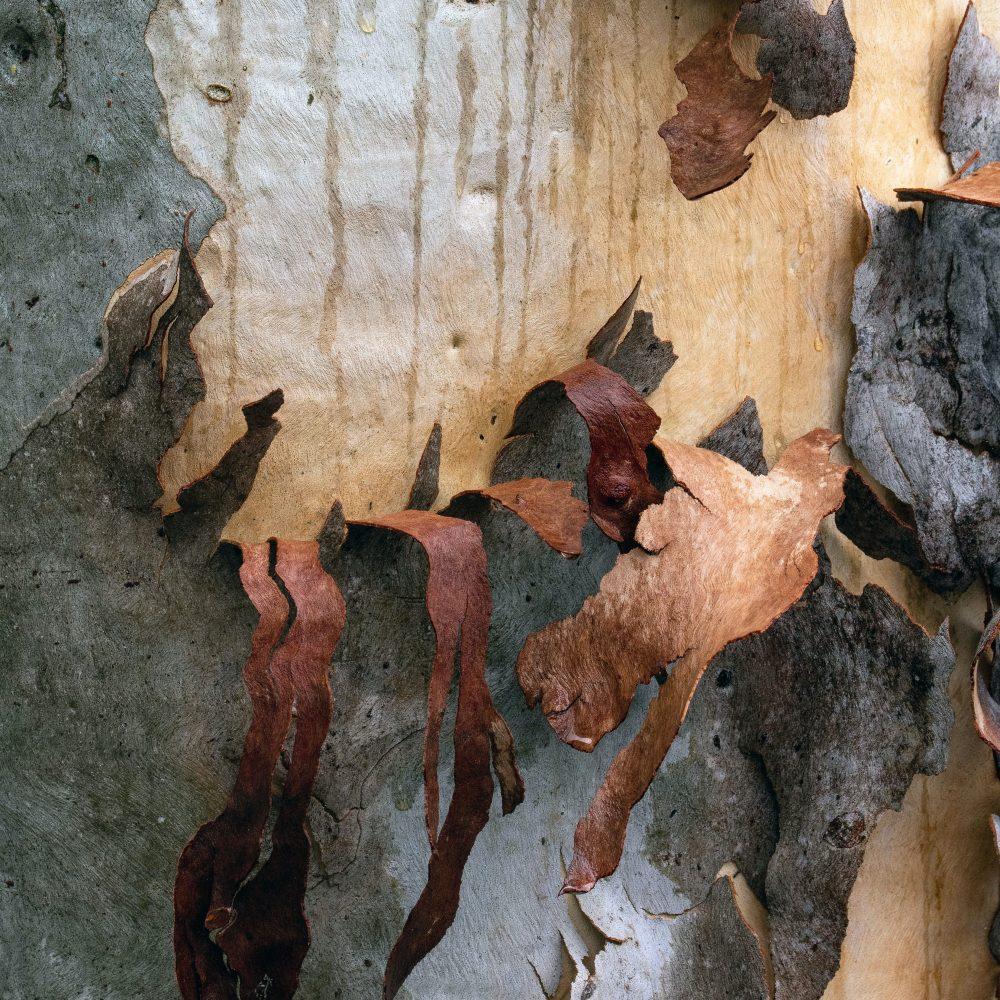 Eco-Friendly Eucalyptus Wood - bark