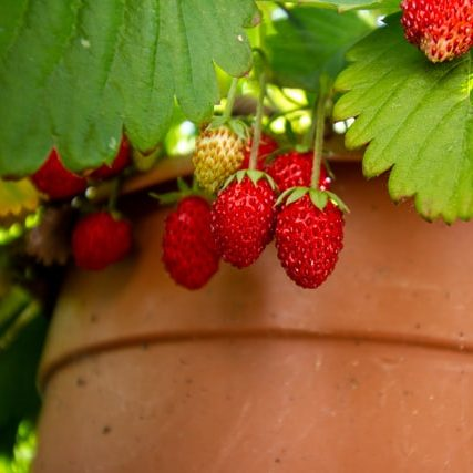 Failproof Potted Fruits & Vegetables strawberries