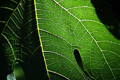 close up of fig leaf