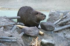beaver in natural habitat