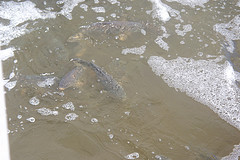 salmon swimming at base of fish ladder