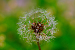 dandelion with seeds ready to fly away