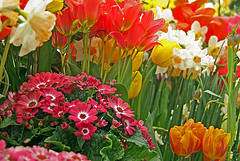 red, pink, yellow, and white spring bulbs in bloom