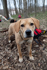 tan colored dog looking right at camera
