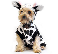 small dog in cow costume