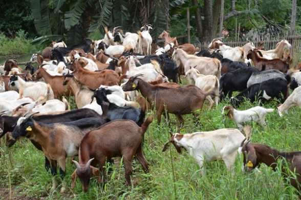 goat rearing business