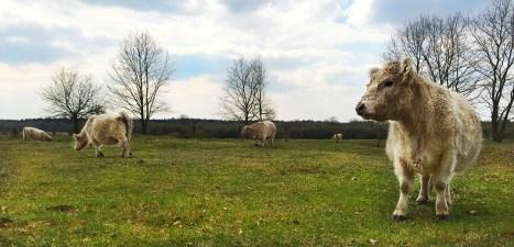 Mammutmarschtraining 5 Rinder