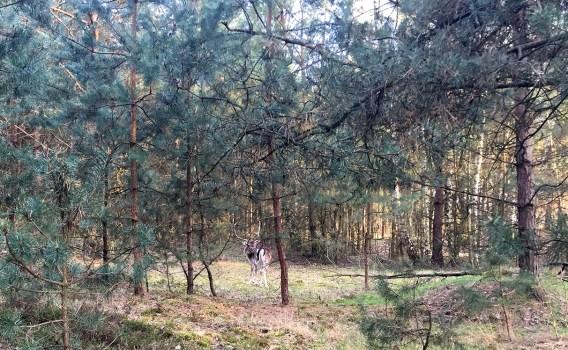 Mammutmarschtraining 7 Hirsch