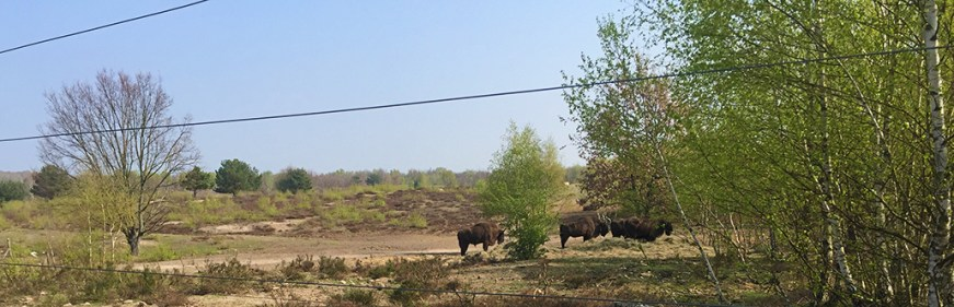 66 k Wanderung Bisons