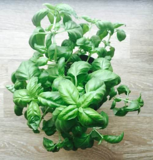basil growing in a pot