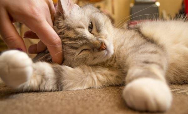 person's hand petting kitten