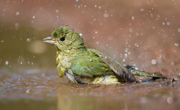 green bird enjoying a bath