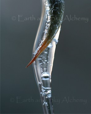Orange bush thorn in ice