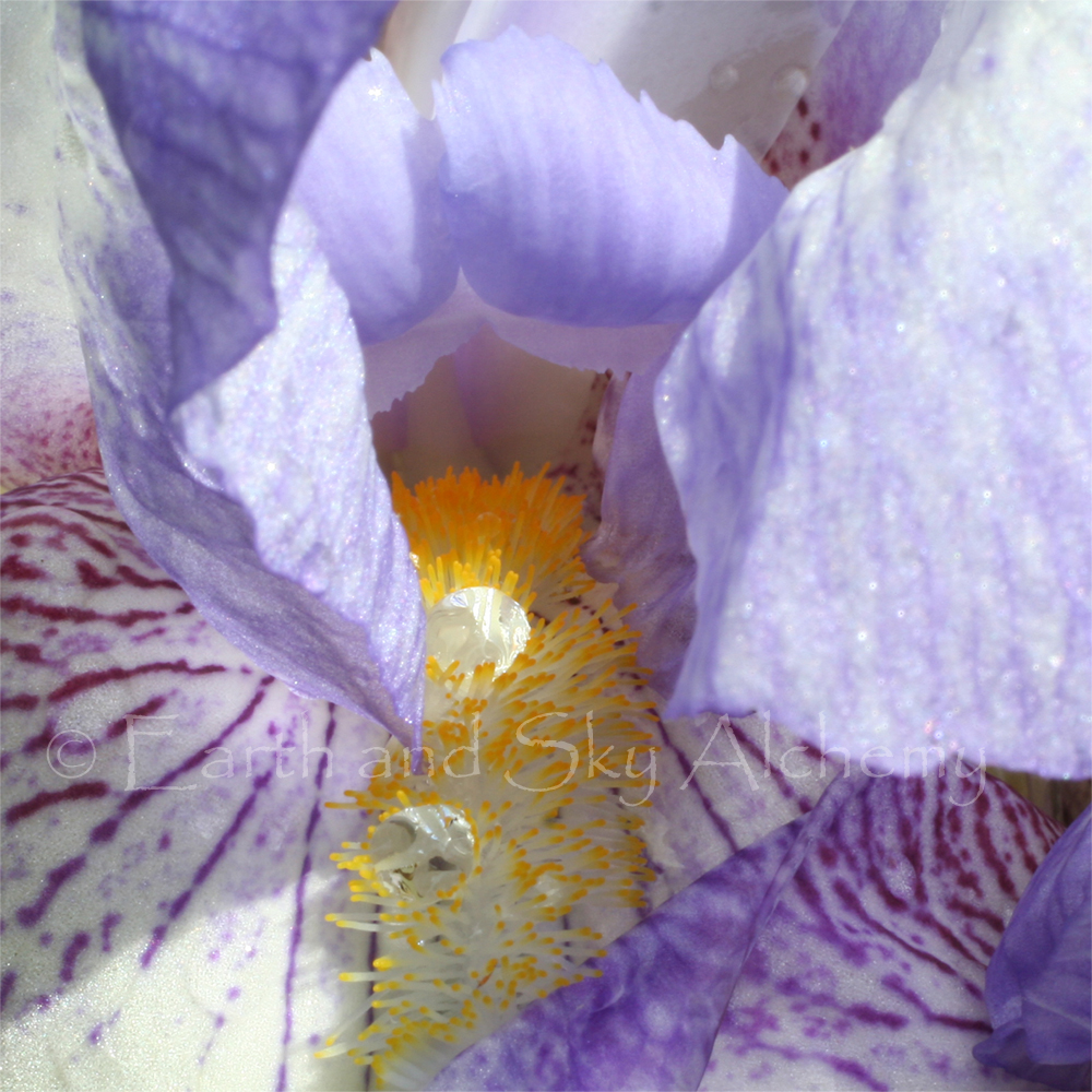 Purple Iris raindrops