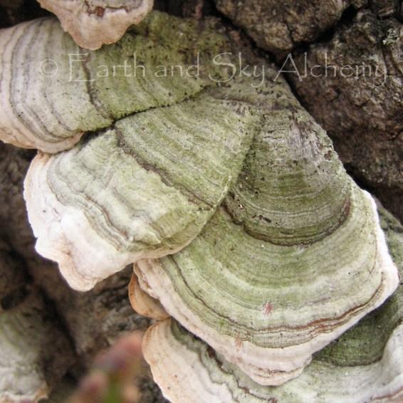 Turkey tail tree barnacle
